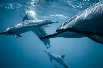 dauphins sous-marins en plongée à kalpitiya