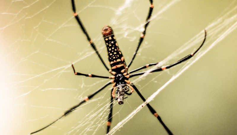 golden silk orb weaver thailand