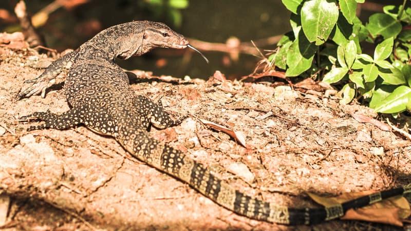 monitor lizard in mangrove reserve pak nam pran