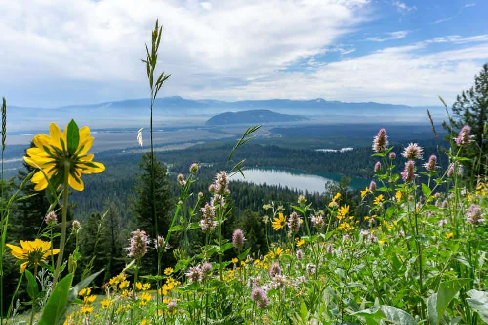 fields of flowers in grand teton national park