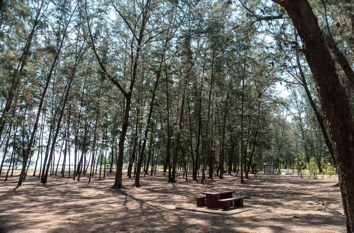 shady pine forest in front of Pranburi beach