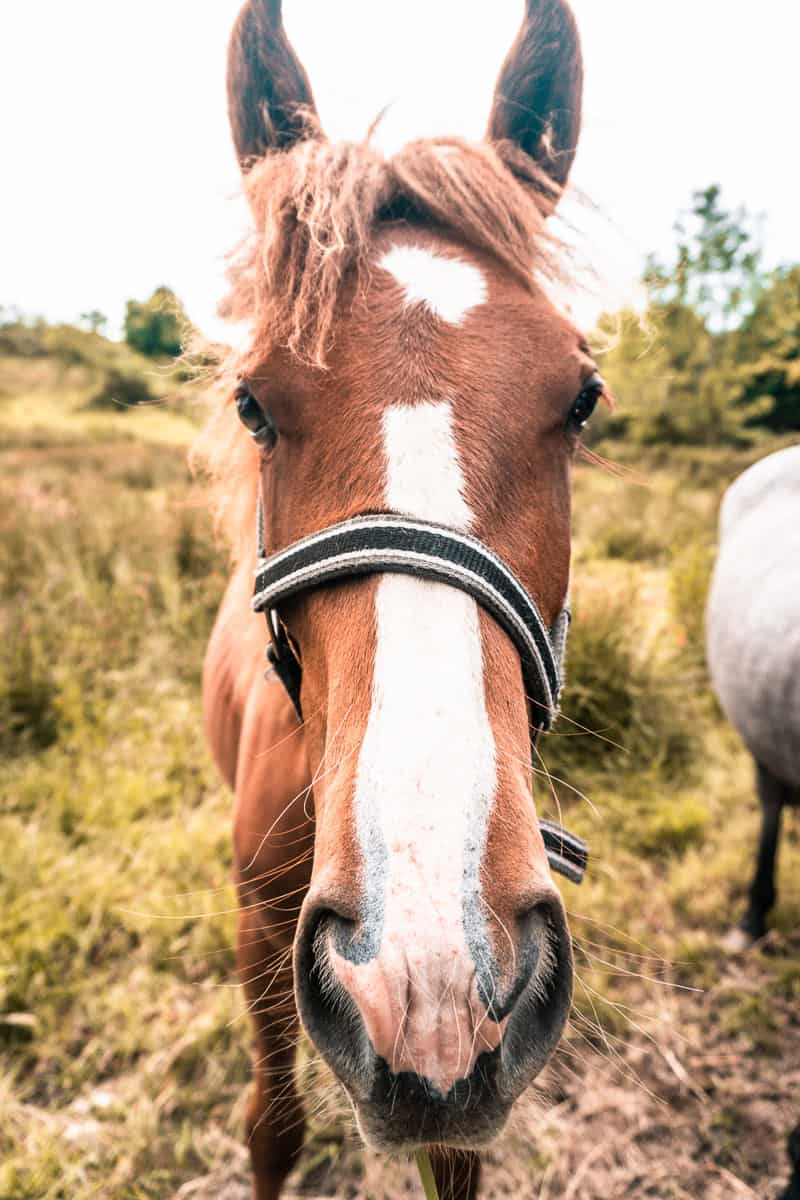 head shot of a brown horse with a white stripe down its nose, wearing a bridle and standing in a grassy field