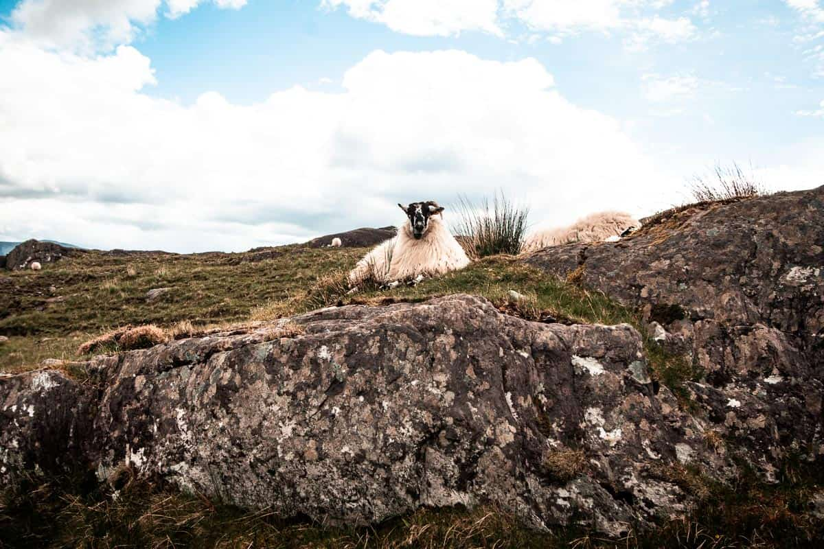 A fluffy sheep lying down on top of a rocky patch of grass in West Cork, ireland