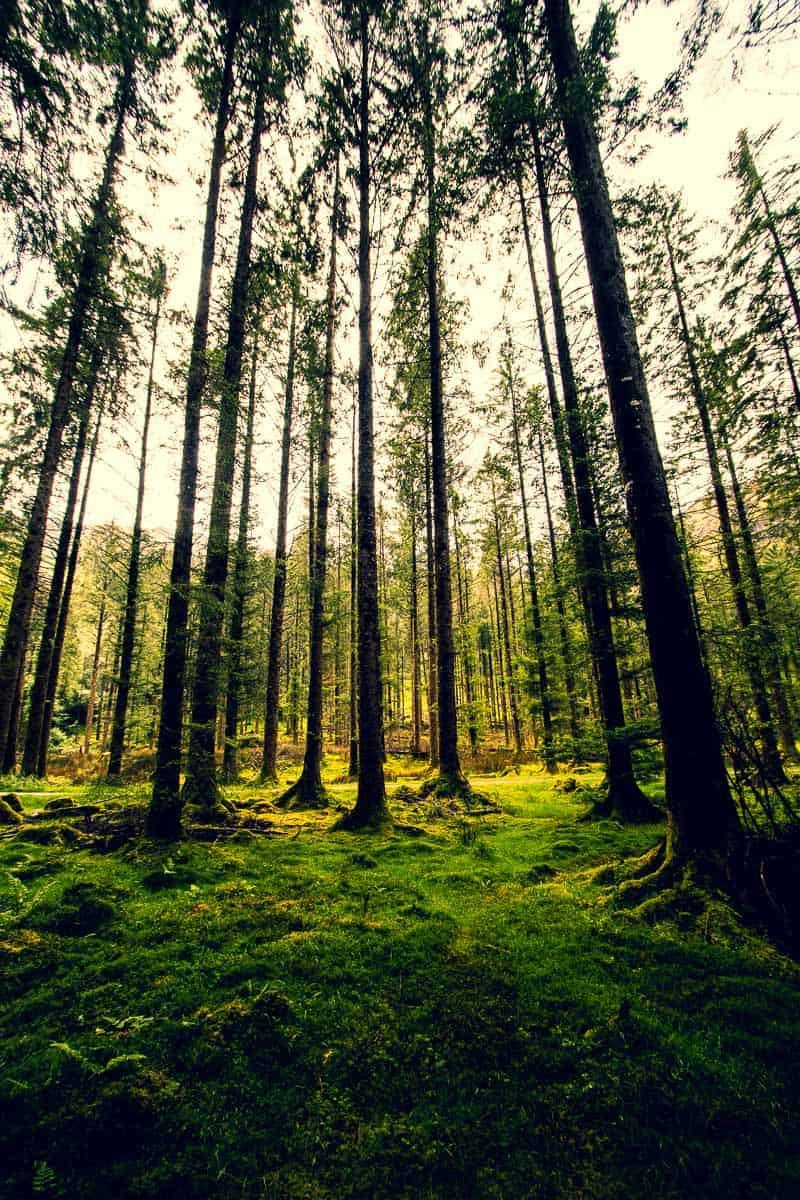 imagem vertical de floresta de aspecto místico com piso coberto de musgo e árvores magras super altas (capturadas no parque florestal atrás de Gougane Barra, West Cork)