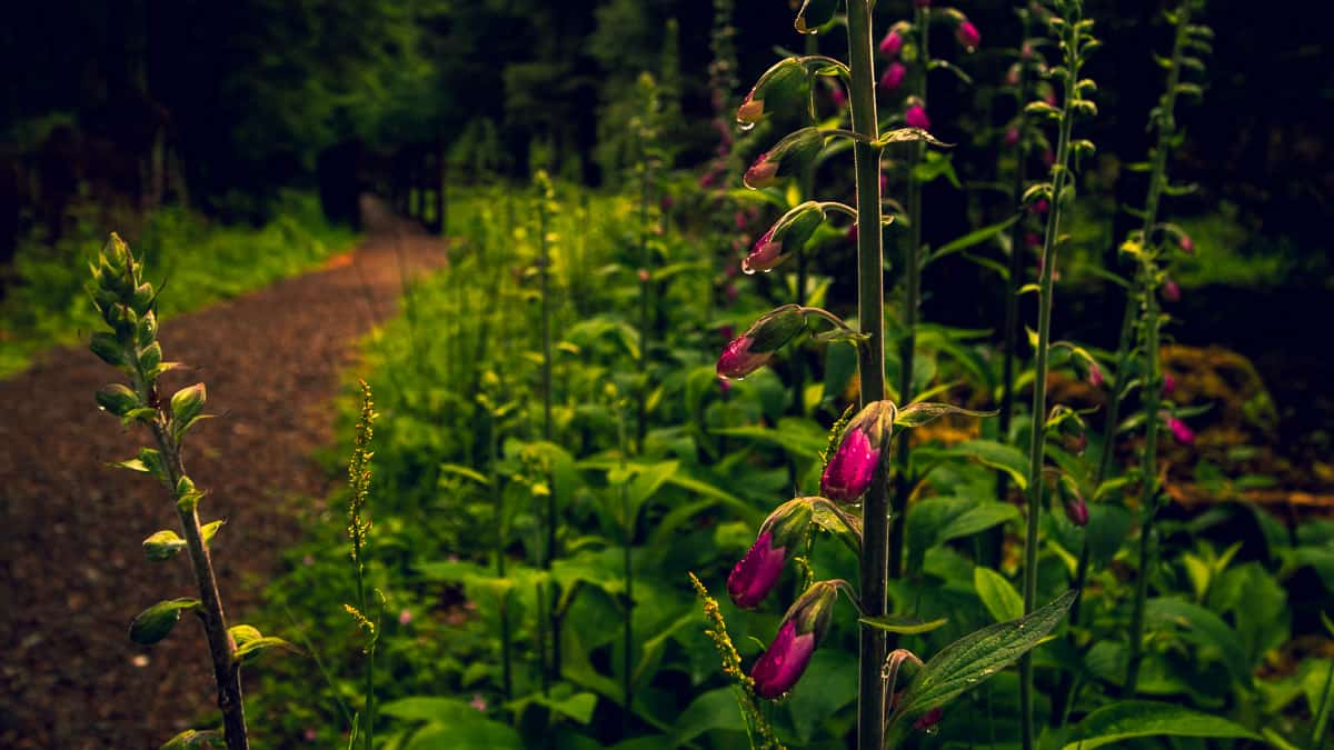 A gougane barra walking trail. The path leads from the lefthand foreground into the forest in the background. On the righthand foreground there are pink foxgloves growing out of the grass.
